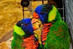 Moluccanusclose-up van Trichoglossus van regenbooglori van jonge vogel i Royalty-vrije Stock Foto's
