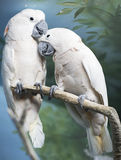 Moluccas cockatoo. Bird of the cockatoo family Stock Photos