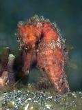 Moluccas seahorse Stock Afbeeldingen