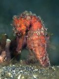 Moluccas seahorse Stock Images