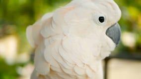 Moluqueño o cacatúa del paraguas Retrato del loro blanco, pájaro endémico exótico a la selva tropical tropical en las islas de In metrajes