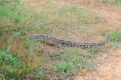 Molurus de python images libres de droits