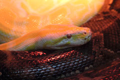 Molurus de python Photographie stock libre de droits