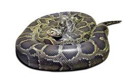Molurus van de python op wit Royalty-vrije Stock Afbeeldingen
