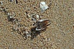 Molusc пляжа сокровища Стоковые Фото