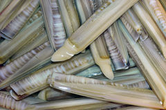 Molusco Fotos de Stock