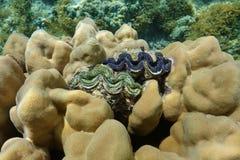 Molusco de la almeja de dos máximos encrustado en coral foto de archivo