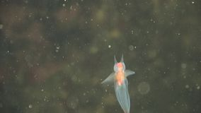 Molusco del ángel del mar almacen de metraje de vídeo