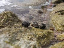 Molusco marinho do b?zio marinho da ilha da tartaruga no caldera/venezuela da praia da zona litoral foto de stock royalty free