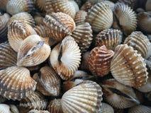 Moluscos crus dos berbigões do mar fotos de stock royalty free