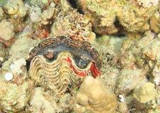 Moluscos gigantes fotos de stock