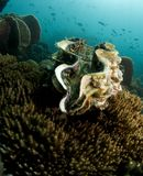 Moluscos gigantes do mar imagem de stock royalty free
