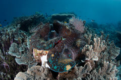 Moluscos gigantes em Papua ocidental, Indonésia foto de stock royalty free