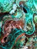 Moluscos gigantes Fluted Fotografia de Stock Royalty Free