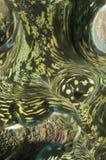 Moluscos gigantes, gigas do Tridacna, molusco bivalve foto de stock royalty free