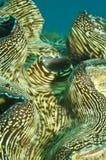 Moluscos gigantes, gigas do Tridacna, tiro macro imagens de stock royalty free