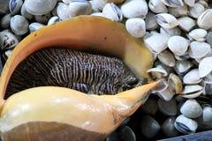 Moluscos gigantes no mercado da noite - Kota Kinabalu Sabah Borneo Malaysia ?sia imagens de stock royalty free
