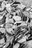 Moluscos no litoral Imagens de Stock Royalty Free