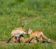 Αλεπού mom και εξάρτηση Στοκ φωτογραφίες με δικαίωμα ελεύθερης χρήσης