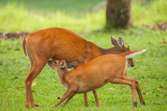 Mom ans baby barking deer Stock Photos
