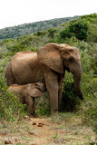 Mom And Baby - African Bush Elephant Royalty Free Stock Image