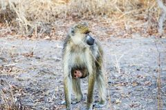 Mom and baby baboon Royalty Free Stock Photos