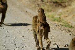 Mom & baby baboon Stock Photo