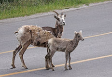 Mom and Baby Bighorn Sheep Royalty Free Stock Photo