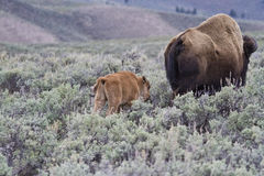 Mom and baby bison Stock Images