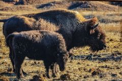 mom and baby buffalo royalty free stock images