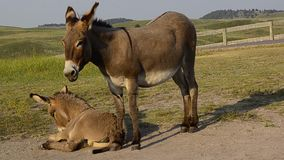 Mom and Baby Burro stock footage