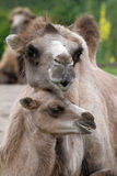 Mom and baby camel Stock Photos
