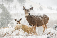 Mom and baby deer in snow scene
