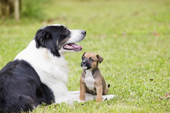 Mom and baby dogs lying in the grass Royalty Free Stock Photo