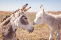 Mom and baby donkey Stock Photography