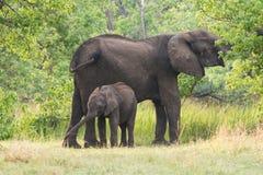 Mom and baby Elephant. Mom and calf African Elephant (Loxodonta) browsing, Okavango Delta, Botswana stock images