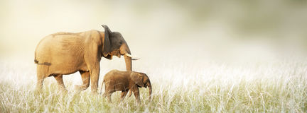 Mom and Baby Elephant Walking Through Tall Grass royalty free stock images
