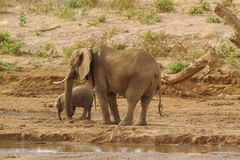 Mom & baby elephant. Mom & baby elephant by water Royalty Free Stock Image