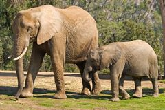 Mom and Baby Elephants. Next to each other walking around a zoo stock photo