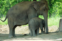 Mom and Baby Elephants. Next to each other in a national park of Nepal stock photos