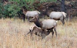 Mom and Baby Elk Nursing in Estes Park Colorado. A mother nurses her young baby in a field near Estes Park, Colorado Stock Photos