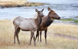 Mom and Baby Female Elk Crossing Yellowstone River. An adult, female elk and her baby near the Yellowstone River in Yellowstone National Park Royalty Free Stock Photo