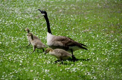 Mom and Baby geese in a field of white Stock Photos