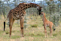 Mom and Baby Giraffe. Mother Giraffe kissing her baby giraffe royalty free stock photo