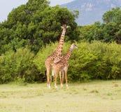 Mom and baby giraffe Royalty Free Stock Photos