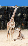 Mom and baby giraffe Stock Image