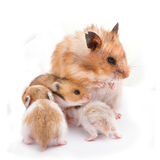 Mom with baby hamster stock photography