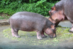 Mom and baby hippo eat food Royalty Free Stock Image