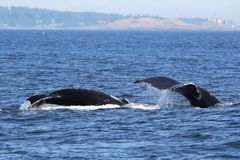 Mom and Baby Humpback Whales Diving. Mom and baby Humpback Whales on the Washington coast royalty free stock photo