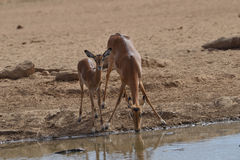 Mom and baby Impala. Mother and baby Impala drinking at the watering hole Royalty Free Stock Photo